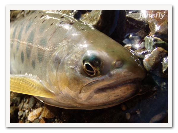 Facefish_B1215c.jpg