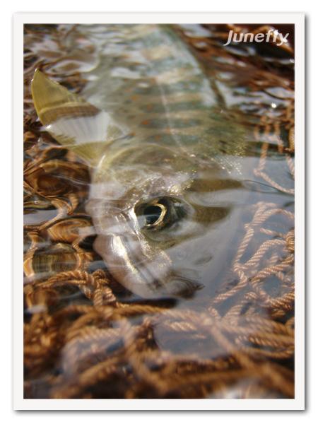 Facefish_C0526a.jpg