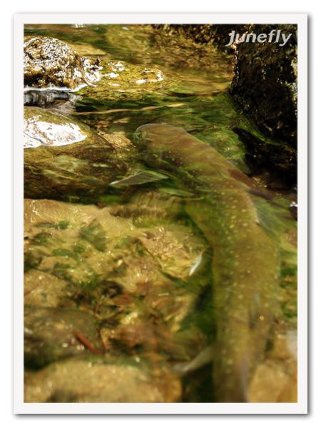 Facefish_C0610b.jpg