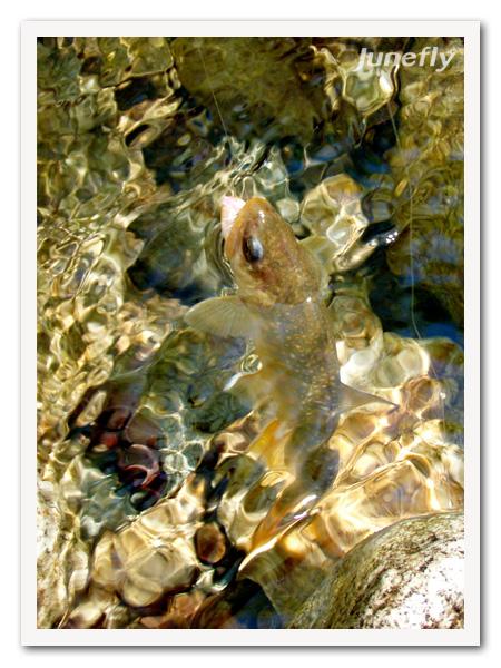 Facefish_C120526a.jpg