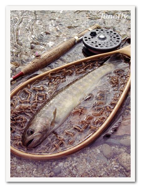 Facefish_C160409a.jpg